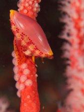 Simnia Snail