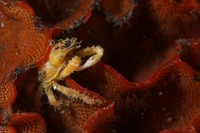 Crab on Bryozoan