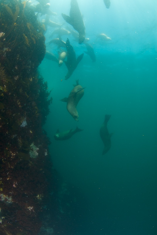 Sea Lions at Lobos Rocks