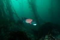 Male California Sheephead