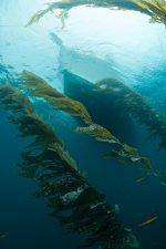 Escapade in Kelp