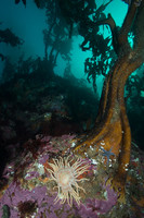 Falklands Tree Kelp Forest