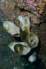 Boot Sponge and Juvenile Yelloweye