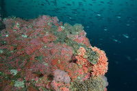 Cabezon on Hydrocoral