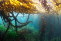 Shallow Kelp