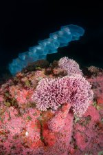 Salp Chain and Hydrocoral